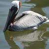 Pelican  Bird Photo