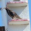 Starling Gathering Nesting Material