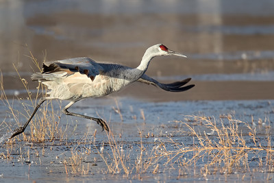 Sandhill Crane, Bosque, NM