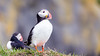 Puffins (Iceland)