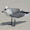 Laughing Gull with fresh catch.