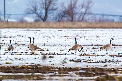 First Canadian Geese of Spring