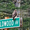 Red-Tailed Hawk on a Signpost