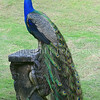 Pavo cristatus –Peacock on statue
