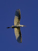 Great Wh Heron Flying_7473_1-21-20©DonnaLovelyPhotos com sm file