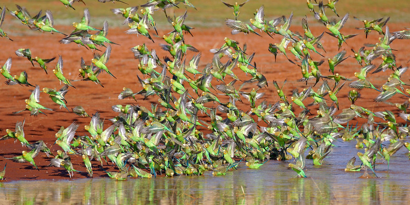 Budgerigar Flock Take-off