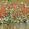 Budgerigar Flock Take-off
