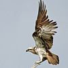 Eastern Osprey, Fish Hawk, Landing. The Spit, Gold Coast, Qld.