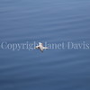 Fulmarus glacialis - Northern fulmar 3