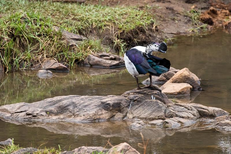Knobbed-billed Duck