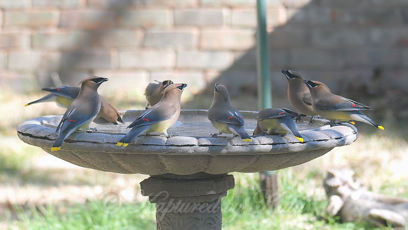 Group Of Waxwings View 4