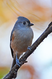 Tufted Titmouse in Fall