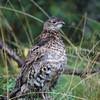 Bonasa umbellus – Ruffed grouse 2