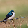 Tree Swallow - Amherst, Nova Scotia