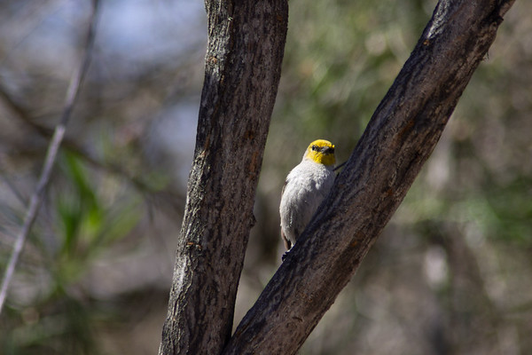 Verdin at Riparian Nature Preserve