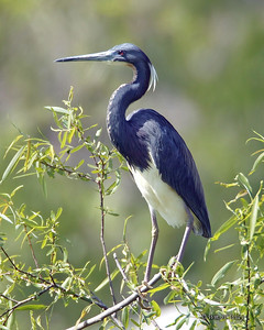 Tricolored Heron in Hilton Head Wildlife Refuge in South Carolina.