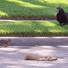 Squirrel Advances On The Vulture
