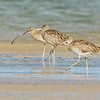 Eastern Curlews, Unnamed Island, The Broadwater, Gold Coast, QLD.