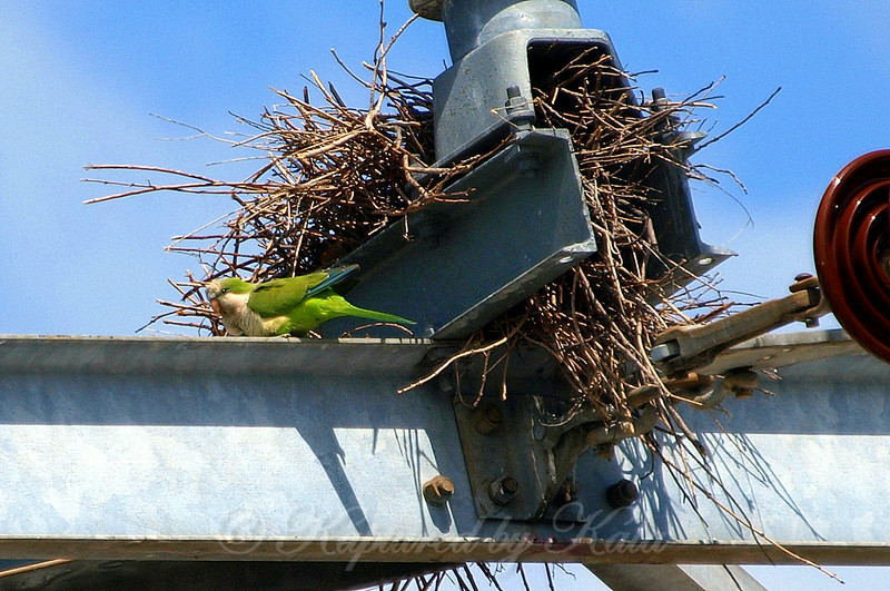 Quaker Parrot/Monk Parakeet  View 4 of 7