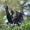 MATING  COUPLE OF DOUBLE CRESTED  CORMORANTS,