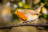 Who goes there? - European Robin, Northwood