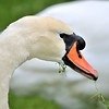 Swan eating grass