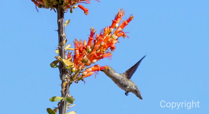 Hummingbird  finds nectar in Ocotillo