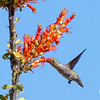 Hummingbird  finds nectar in Ocotillo