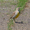 Western Or Eastern Meadowlark View 1