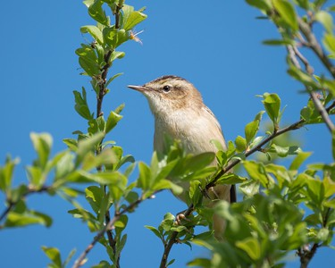 Sedge Warbler at Otmoor 6th May 2018