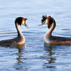 Чомги - Танец любви / Great-crested Grebes - The Dance of Love