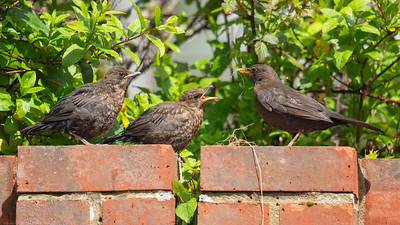 Young Blackbirds parent arrives with nesting material