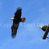 Haliaeetus leucocephalus – Bald eagles on power pole 5