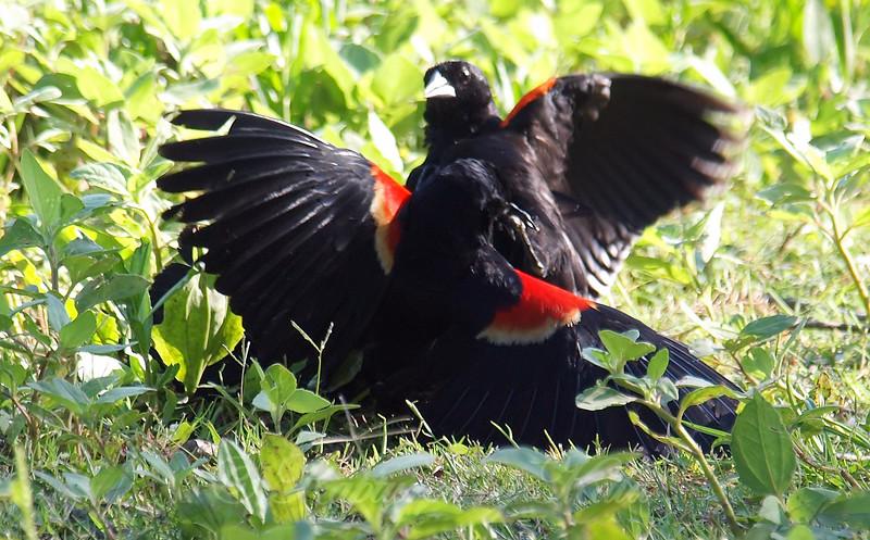 Red-winged Blackbird Death Match 16