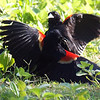 Red-winged Blackbird Death Match 16