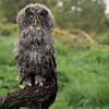 Juvenile Great Gray Owl