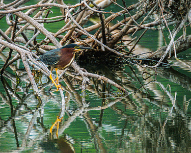 Green Heron, Butorides virescens