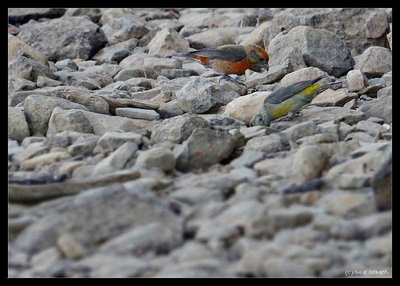 Red Crossbills—Loxia curvirostra (male and female)