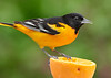 Male Baltimore Oriole perched on an orange