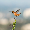 Lighter than air - Allen's Hummingbird
