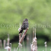Agelaius phoeniceus – Red winged blackbird female 2