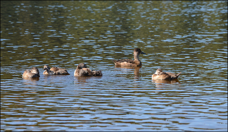 Family of Ring-necked Ducks ~ Aythya collaris