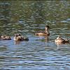Family of Ring-necked Ducks ~ Aythya collaris