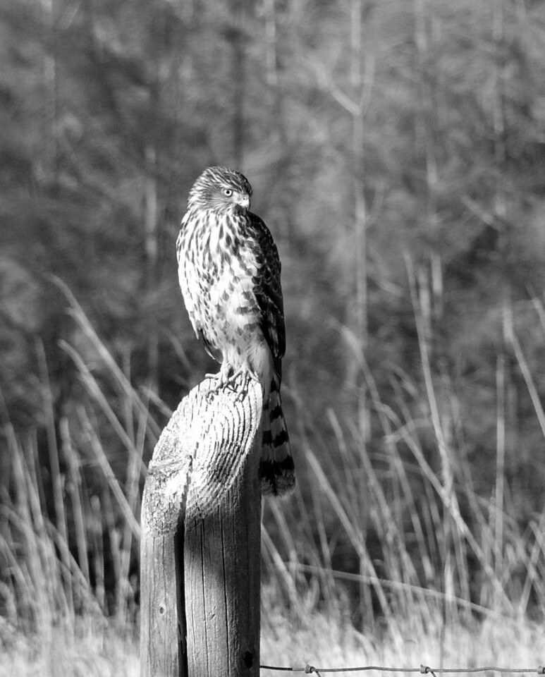 """NAB-111304-10BW  """"Hungry Eyes"""" Immature hawk (possibly Cooper's Hawk), Shingle Springs, California.  Black-and-white image."""