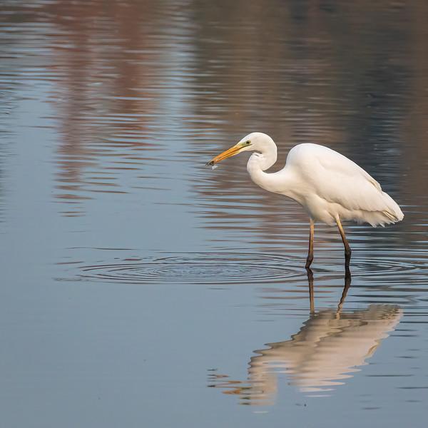 Western Great Egret / Ardea alba / Grote zilverreiger