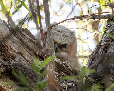 Sleeping Horned Owl Fledgling