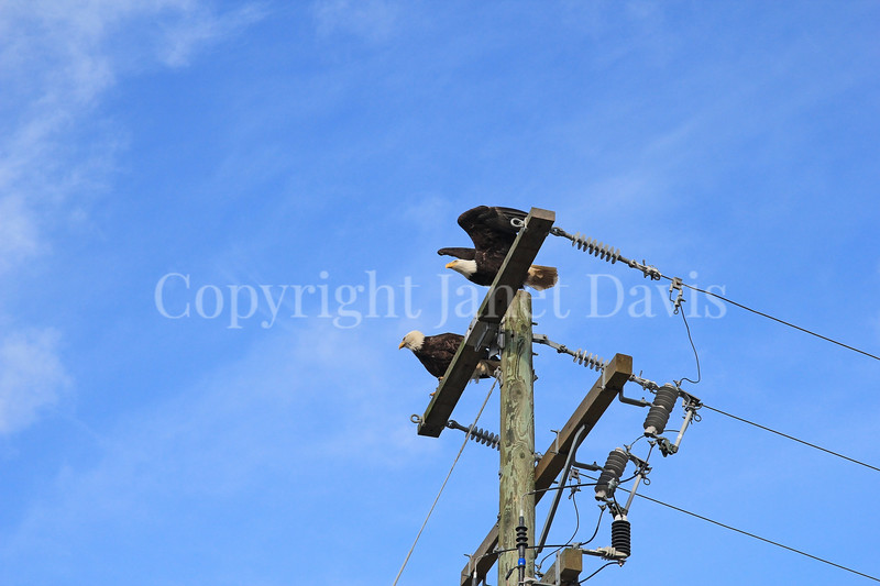 Haliaeetus leucocephalus – Bald eagles on power pole 1
