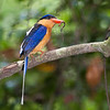 Buff-breasteed Paradise Kingfisher 4