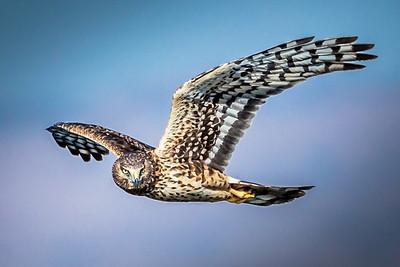 Harrier on the Hunt