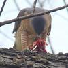 Mama Cooper's Hawk Enjoying Her Gift View 9